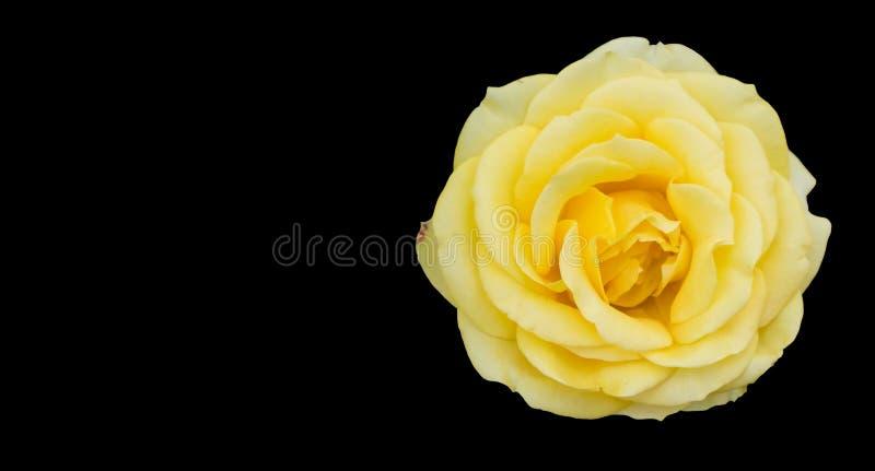 Rosa do amarelo isolada no backgroud preto com espaço da cópia imagens de stock