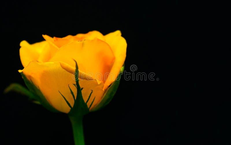 Rosa do amarelo isolada no fundo preto Close-up Copie o espa?o imagem de stock royalty free
