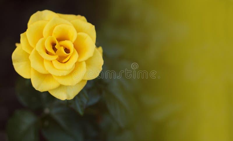 Rosa do amarelo no jardim foto de stock