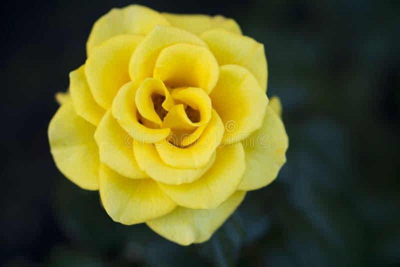Rosa do amarelo no jardim foto de stock royalty free