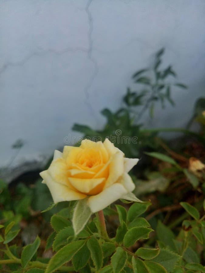 Rosa do amarelo no jardim fotos de stock royalty free