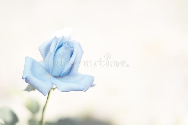 A rosa do azul no fundo borrado para o projeto dos cartões, bandeiras, casamento, feriados, lugar para o textBlue aumentou no fun imagens de stock