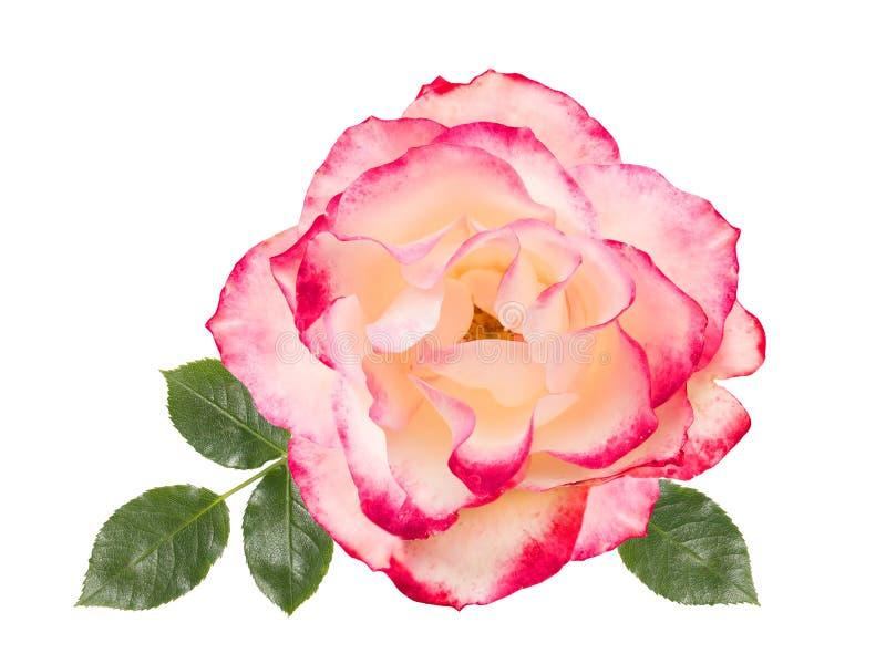 Rosa do branco com o fundo cor-de-rosa, branco, isolado ilustração royalty free