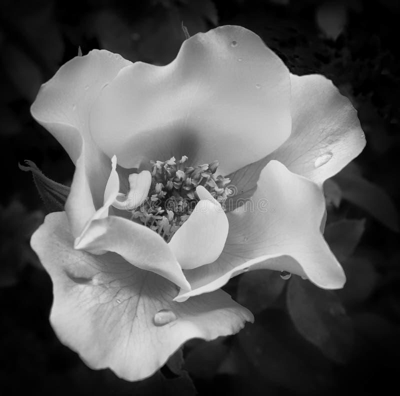 Rosa do branco com pingos de chuva imagens de stock