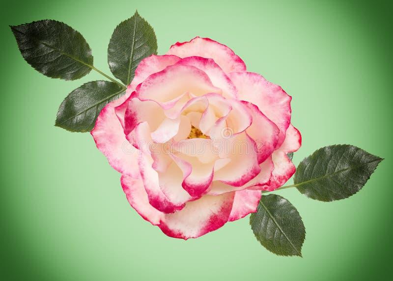 Rosa do branco com rosa, luz - o fundo verde, verde sae ilustração do vetor
