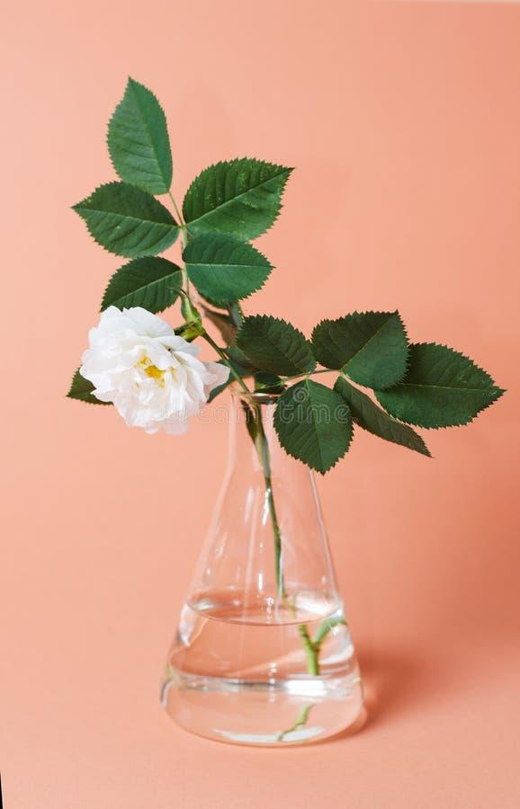 Rosa do branco na garrafa do laboratório em um fundo cor-de-rosa Imagem do estilo do moderno fotografia de stock