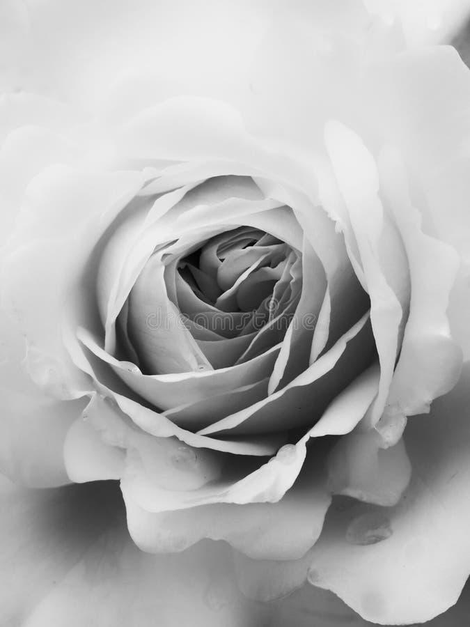 Rosa do branco no fim acima fotografia de stock
