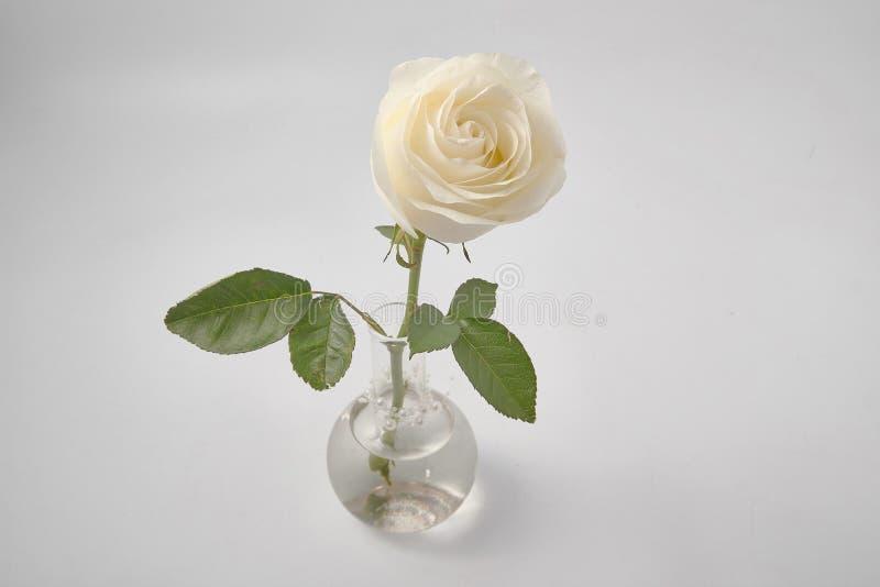 Rosa do branco no fundo branco no estúdio foto de stock