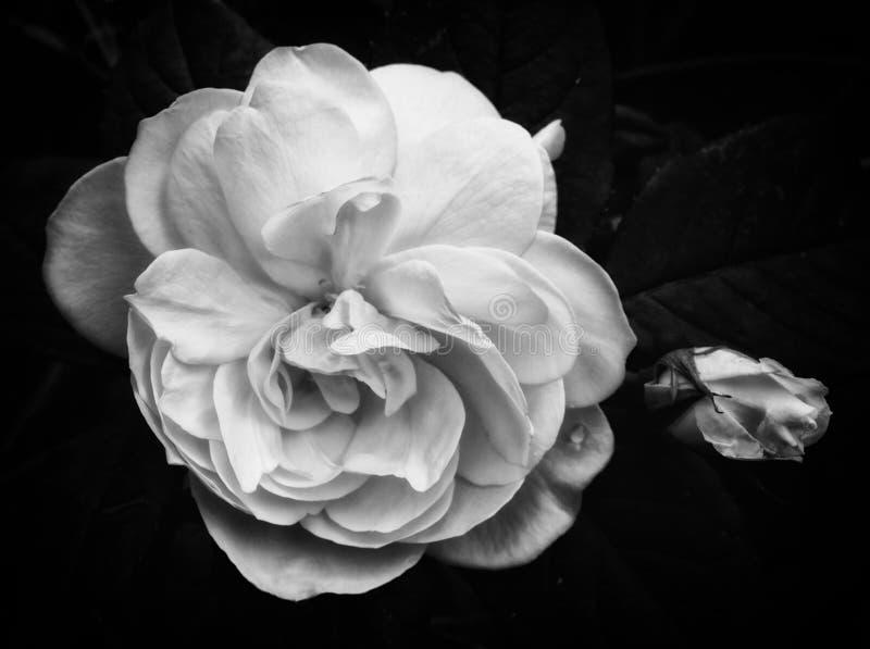 Rosa do branco no preto imagem de stock royalty free