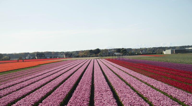 Rosa do campo da tulipa da Holanda imagem de stock