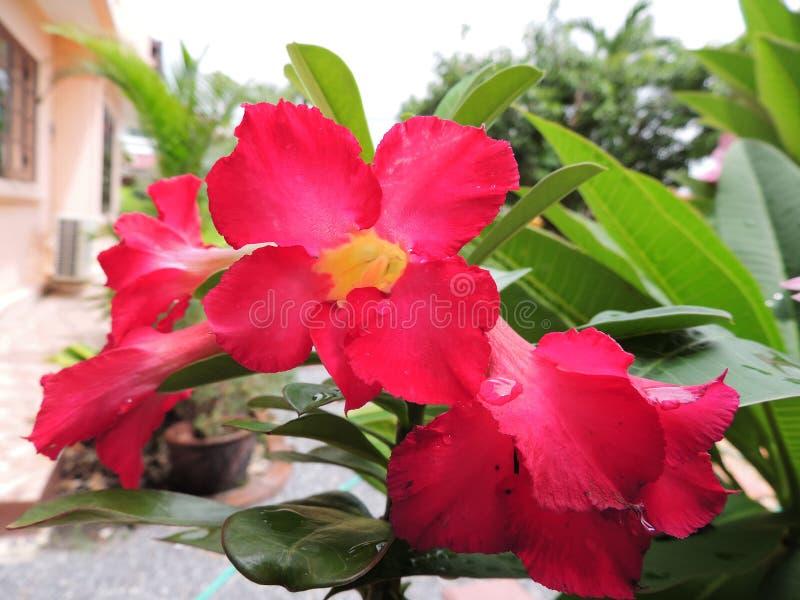 Rosa do deserto ou de azálea da zombaria flor fotografia de stock
