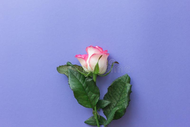 Rosa do rosa em um fundo lilás pastel imagens de stock royalty free