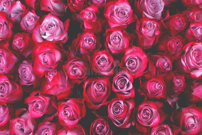 A rosa do rosa floresce o fundo fotos de stock