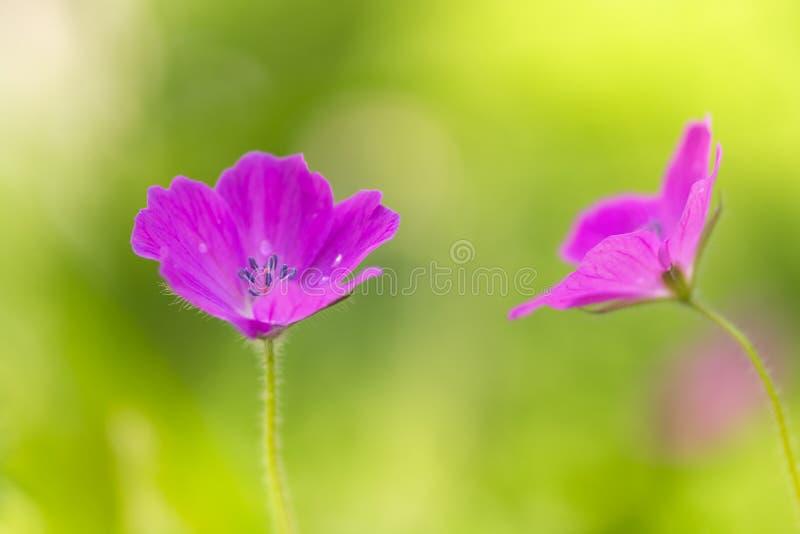 Rosa do gerânio do campo Flores cor-de-rosa pequenas no prado Foco seletivo macio foto de stock