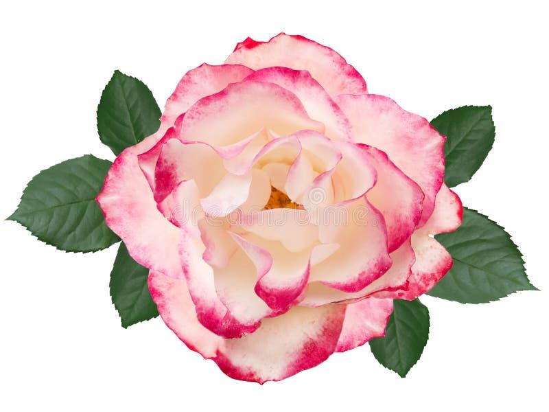 Rosa do rosa isolada no fundo branco com folhas ilustração do vetor