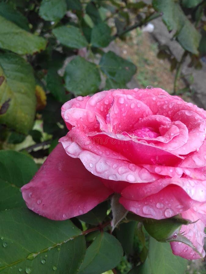 Rosa do jardim fotografia de stock royalty free