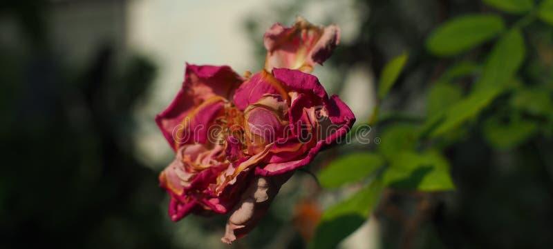 A rosa do lado é minguante imagem de stock royalty free