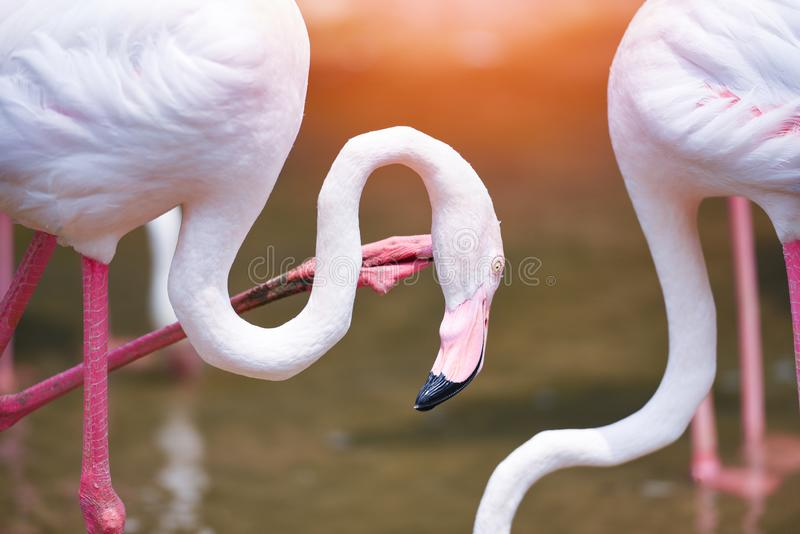 Rosa do pássaro do flamingo bonito em animais tropicais da natureza do rio do lago/maior flamingo imagem de stock royalty free