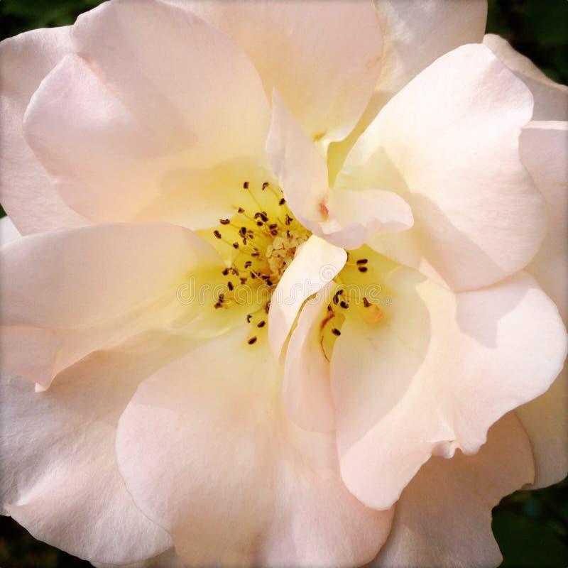 Rosa do Pastel imagem de stock