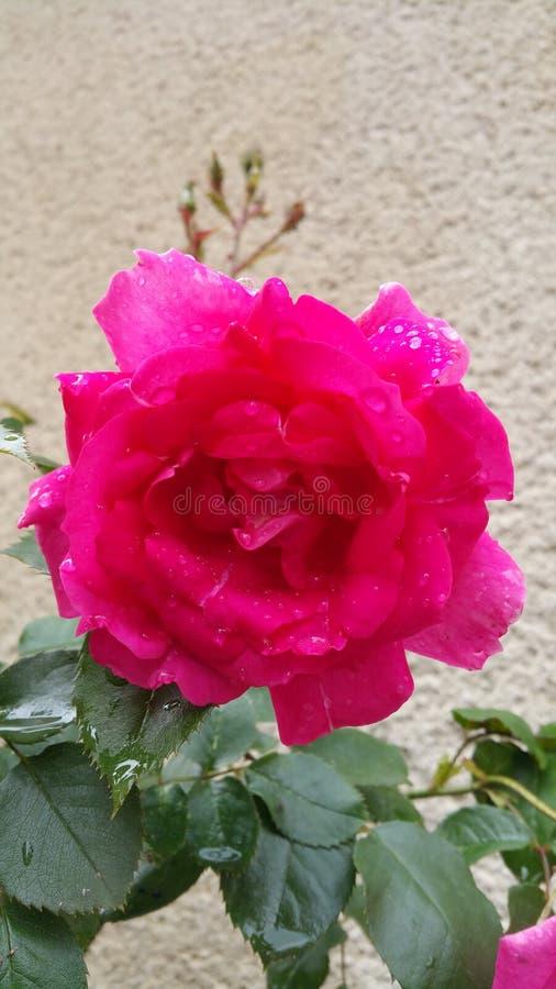Rosa do rosa com gotas da chuva fotografia de stock royalty free