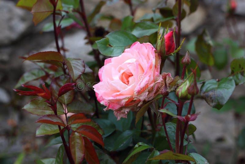 Rosa do rosa de bebê na videira fotografia de stock