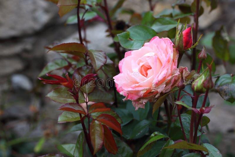 Rosa do rosa de bebê na videira imagem de stock royalty free