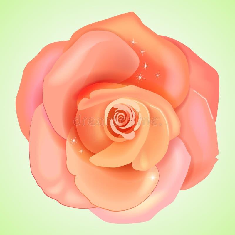 Rosa do rosa do pêssego ilustração do vetor