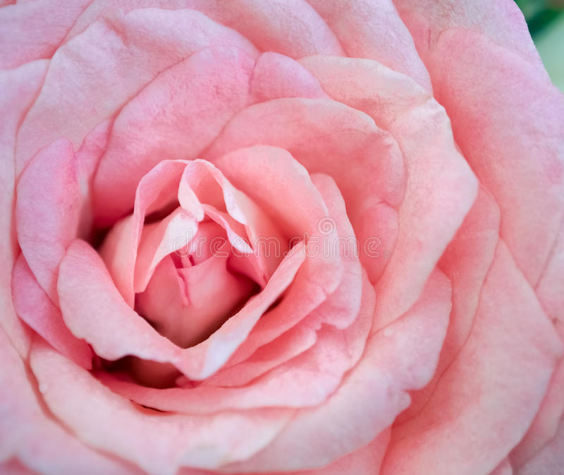 Rosa do rosa na luz suave imagens de stock royalty free