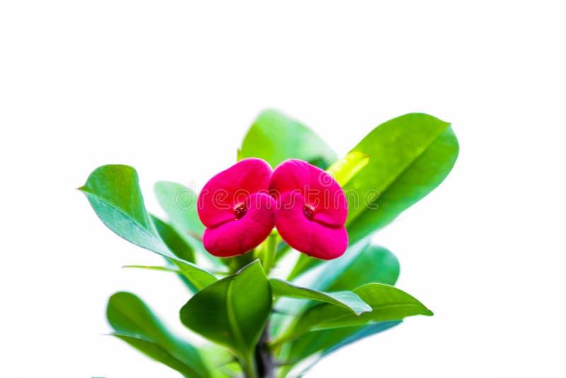 Rosa do spurge de Cypress e flores tropicais coloridas pasteis verdes em um fundo branco fotos de stock