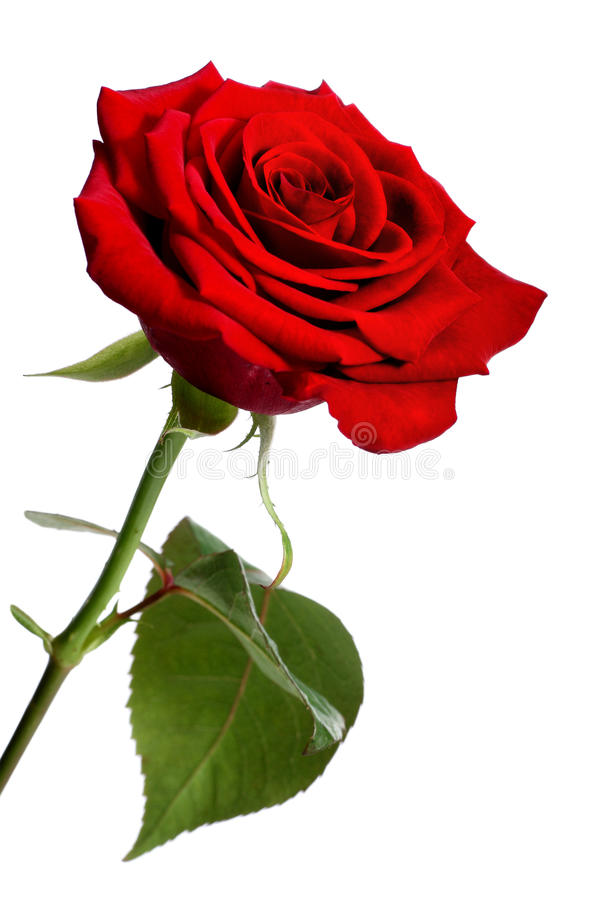 Rosa do vermelho foto de stock royalty free