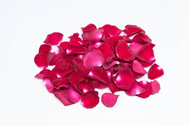 Rosa do vermelho do close up nos fundos brancos fotos de stock