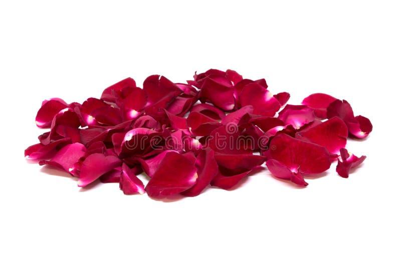 Rosa do vermelho do close up nos fundos brancos imagem de stock