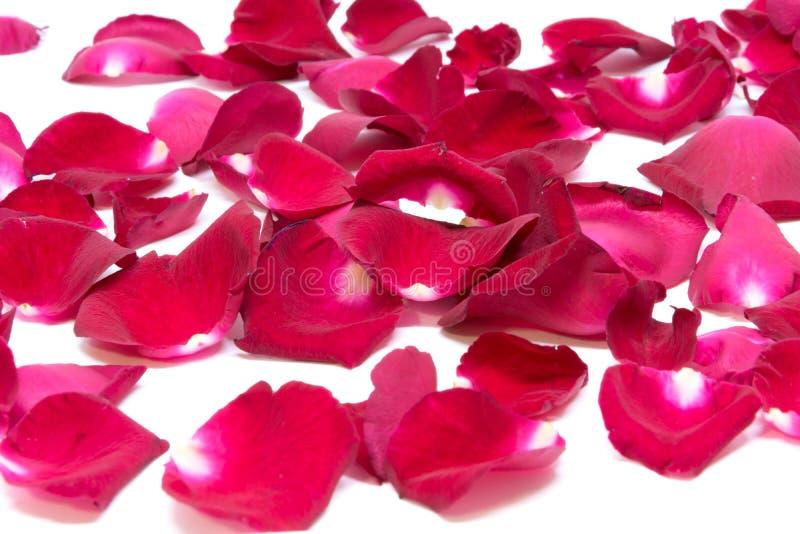 Rosa do vermelho do close up nos fundos brancos fotografia de stock royalty free