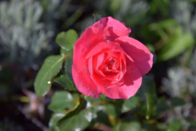 Rosa do vermelho com as gotas da água fotografia de stock royalty free