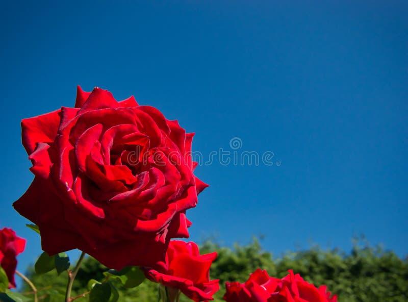 Rosa do vermelho com a flor aveludado e macia contra um céu azul foto de stock royalty free