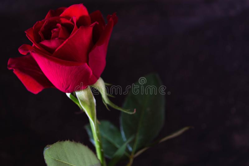 A rosa do vermelho com haste e verde sae no fundo preto imagem de stock