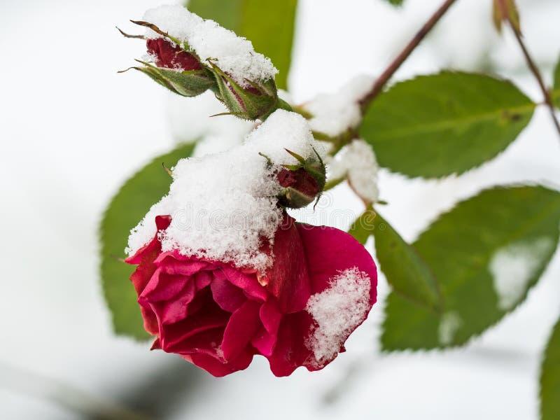 Rosa do vermelho com neve fotografia de stock royalty free