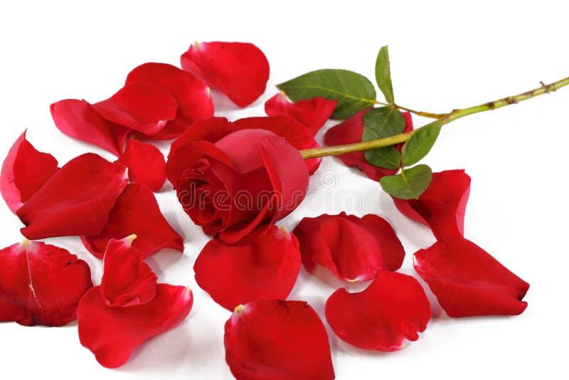 Rosa do vermelho e pétalas cor-de-rosa imagens de stock