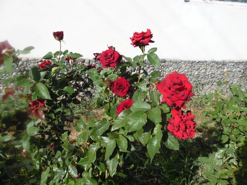 Rosa do vermelho em minha jarda imagem de stock