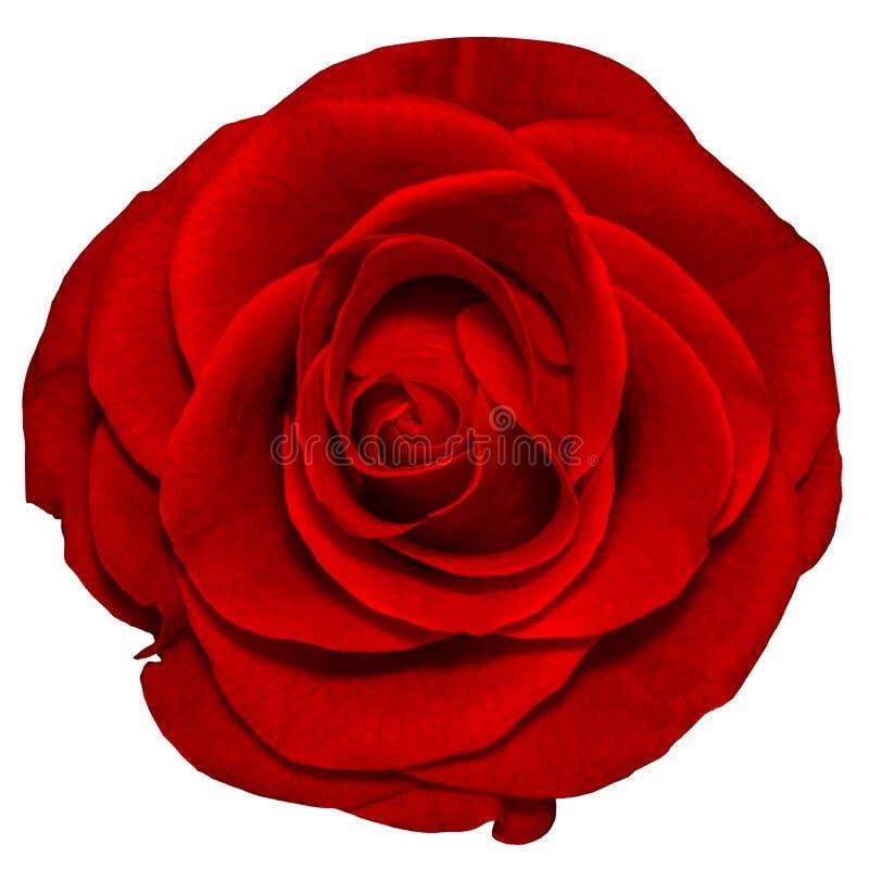 Rosa do vermelho isolada no fundo branco imagens de stock