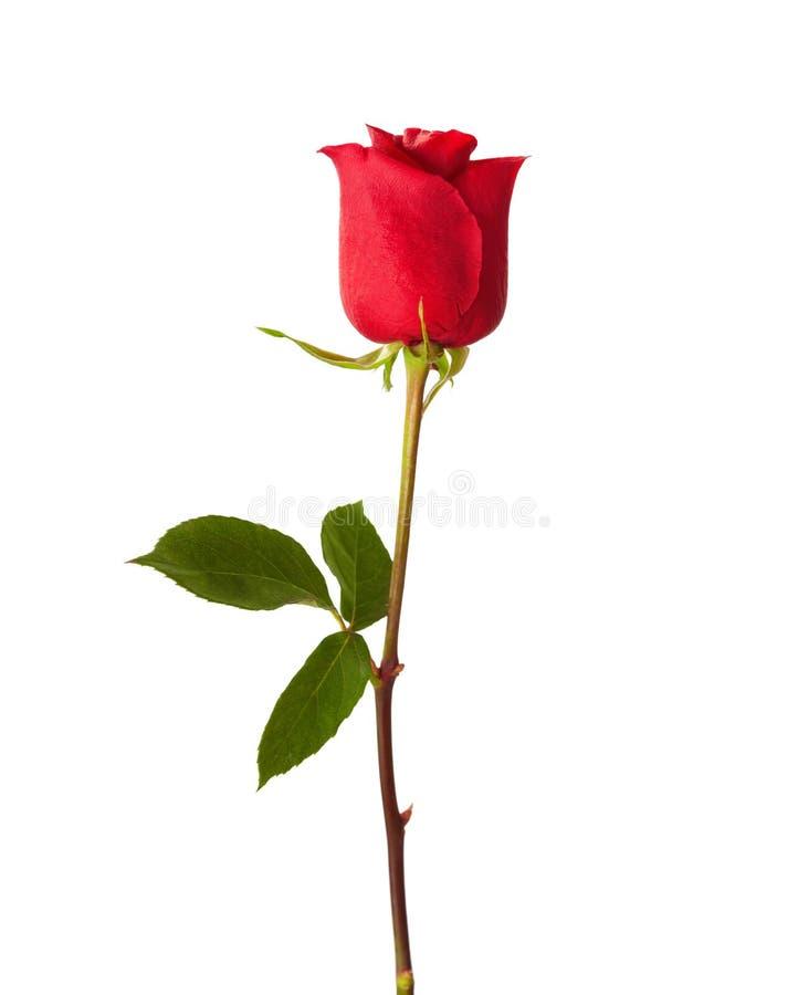 Rosa do vermelho isolada no fundo branco fotografia de stock royalty free