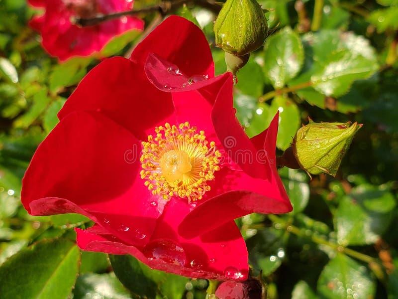 Rosa do vermelho na flor completa fotografia de stock royalty free