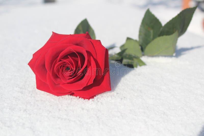 Rosa do vermelho na neve fotos de stock royalty free