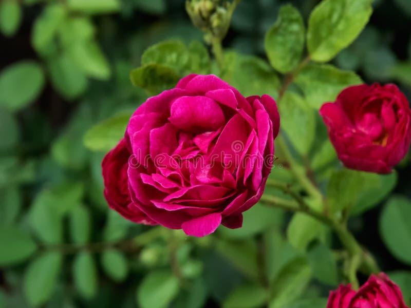 Rosa do vermelho na planta, com folha-Índia verde imagens de stock