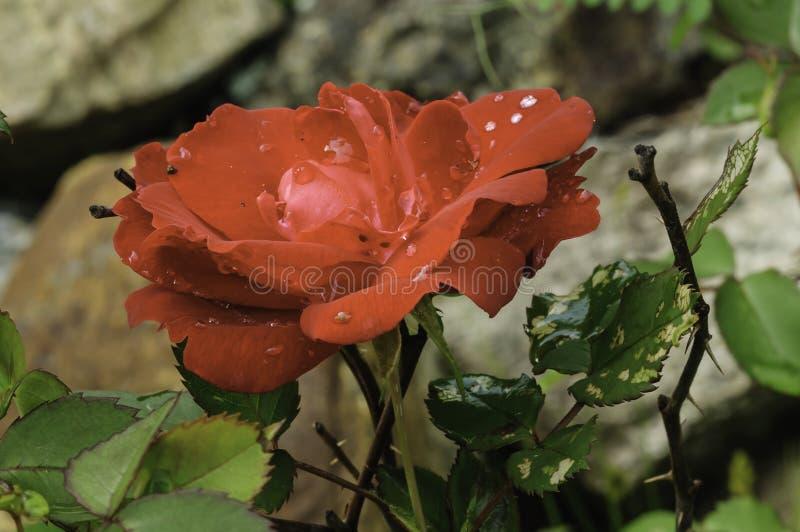 Rosa do vermelho para o amante foto de stock