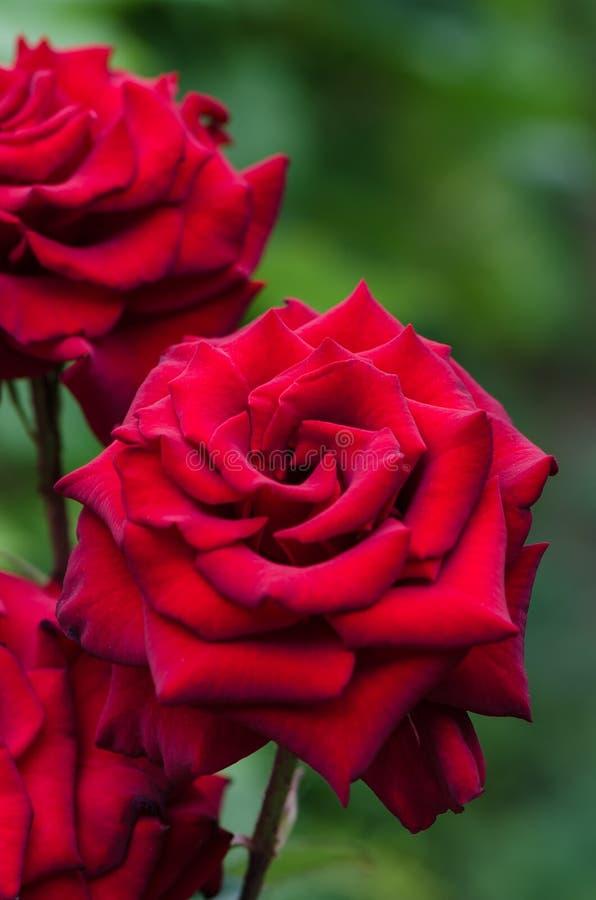 Rosa do vermelho que floresce no jardim imagem de stock royalty free