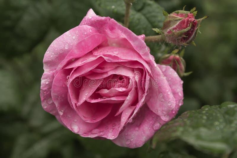 Rosa dopo la pioggia fotografie stock