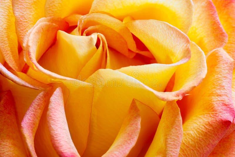 Rosa dorata fotografia stock libera da diritti