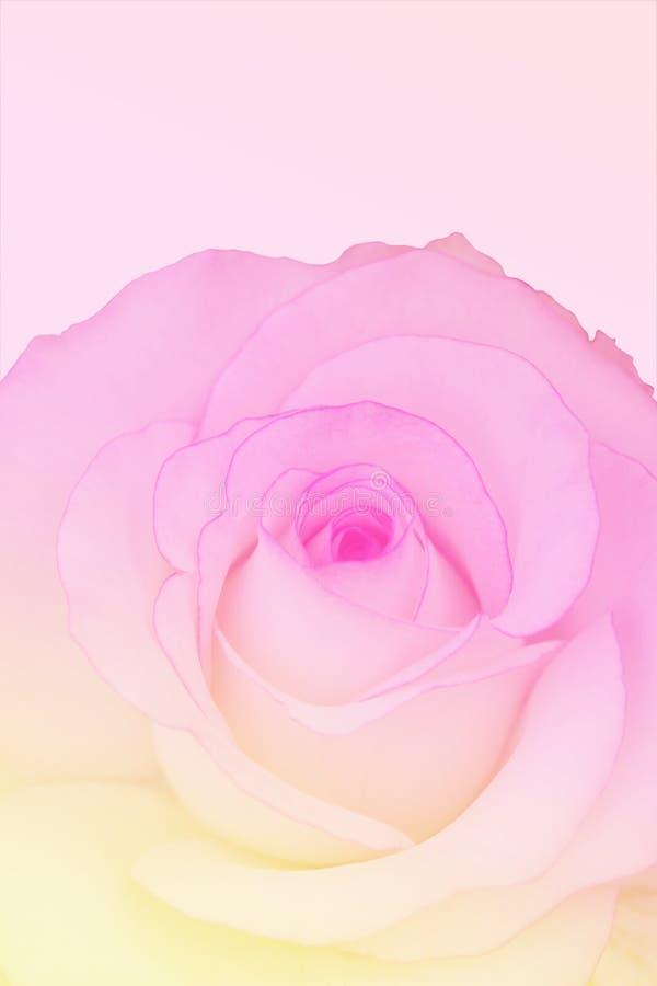 Rosa dulce del color en el estilo suave del color y de la falta de definición para el fondo fotos de archivo