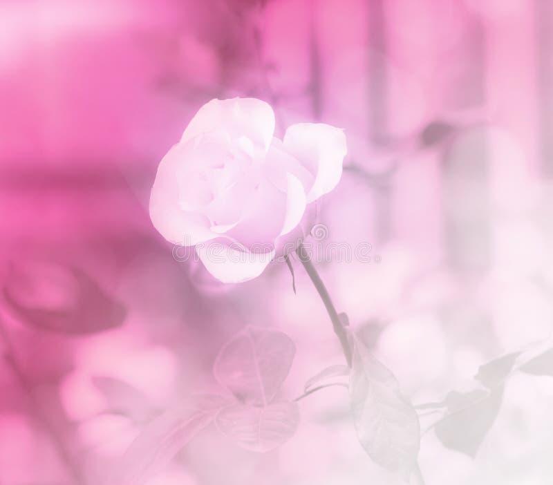 Rosa dulce del color en fondo suave del estilo fotos de archivo